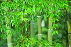 Bamboos-Grasses